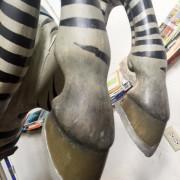 early-1900s-ptc-zebra-front-hoofs